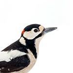 Woodpecker in white background