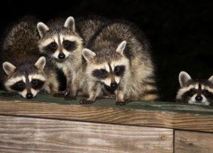 Raccoon Babies in an attic