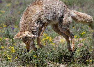 Coyote jumping through the garden
