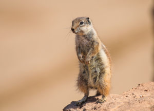 Gopher standing on a rock