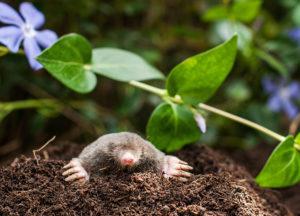 Mole digging through a customer's garden