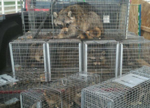 Several raccoons caught in the client's house