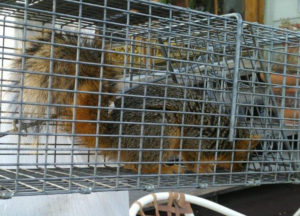 Squirrel trapped in a cage after being caught from the attic