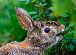 Rabbit chewing plants in the garden
