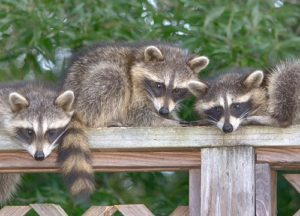 raccoons on a deck rail