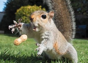 Squirrel going after a peanut