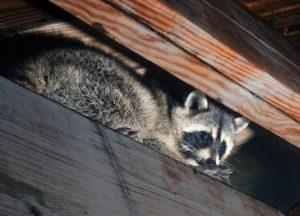 Raccoon in an attic