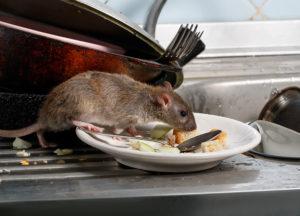 Rat in a kitchen