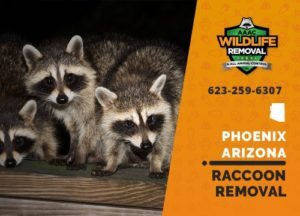 We know how to trap and remove phoenix raccoons