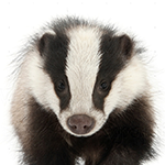 Badger on a white background