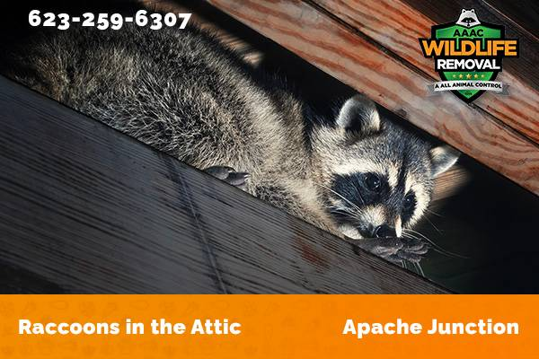 Raccoon In The Attic Apache Junction