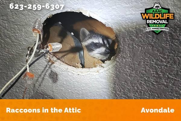 Raccoon In The Attic Avondale