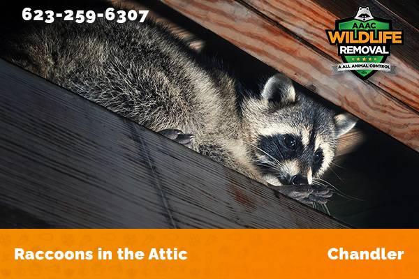 Raccoon In The Attic Chandler