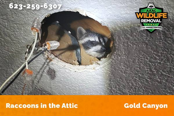 Raccoon In The Attic Gold Canyon