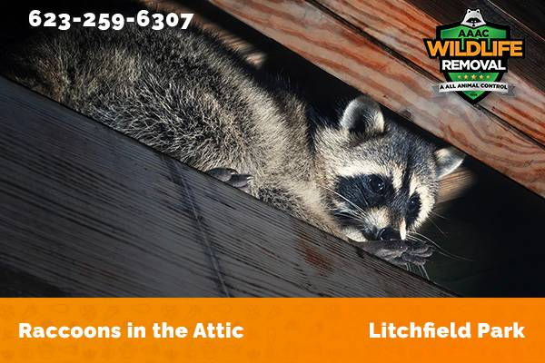 Raccoon In The Attic Litchfield Park
