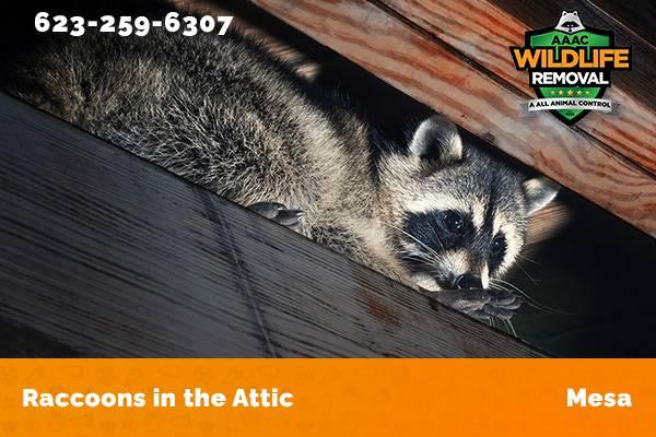 Raccoon In The Attic Mesa