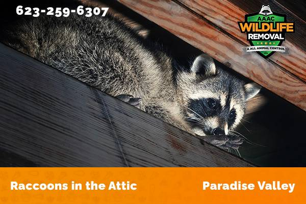 Raccoon In The Attic Paradise Valley