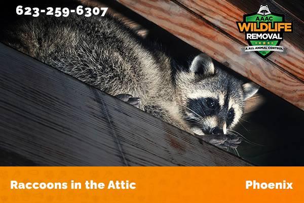 Raccoon In The Attic Phoenix