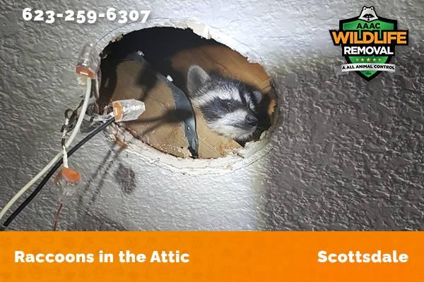 Raccoon In The Attic Scottsdale