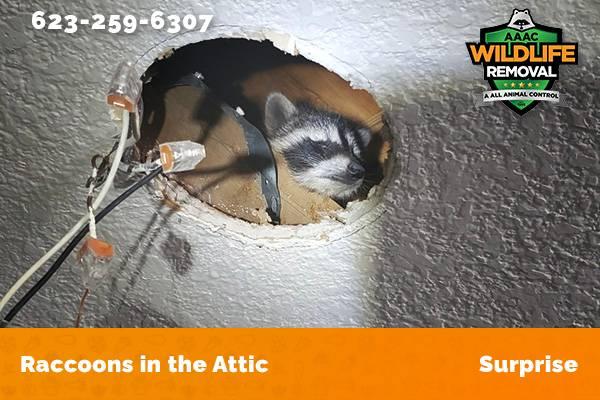Raccoon In The Attic Surprise