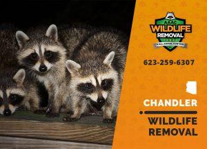Chandler Wildlife Removal professional removing pest animal