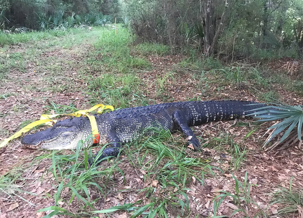 Large alligator on ground with yellow strap