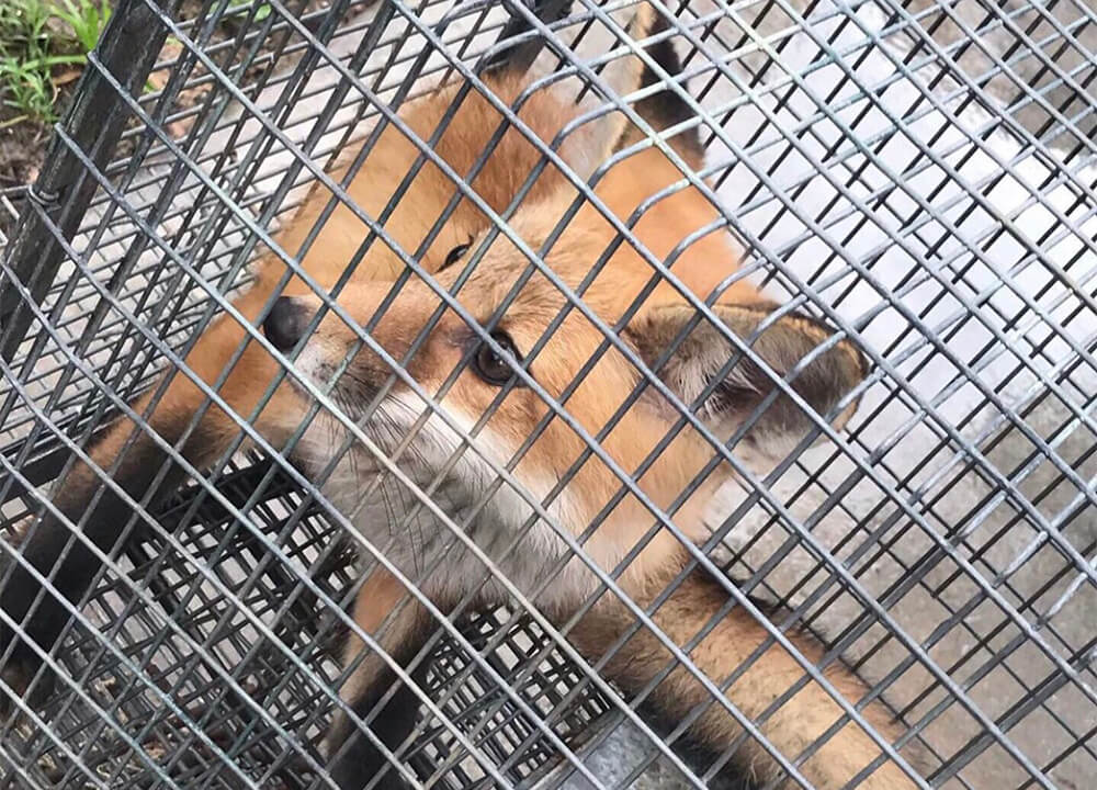 Red fox sitting calmly in a trap