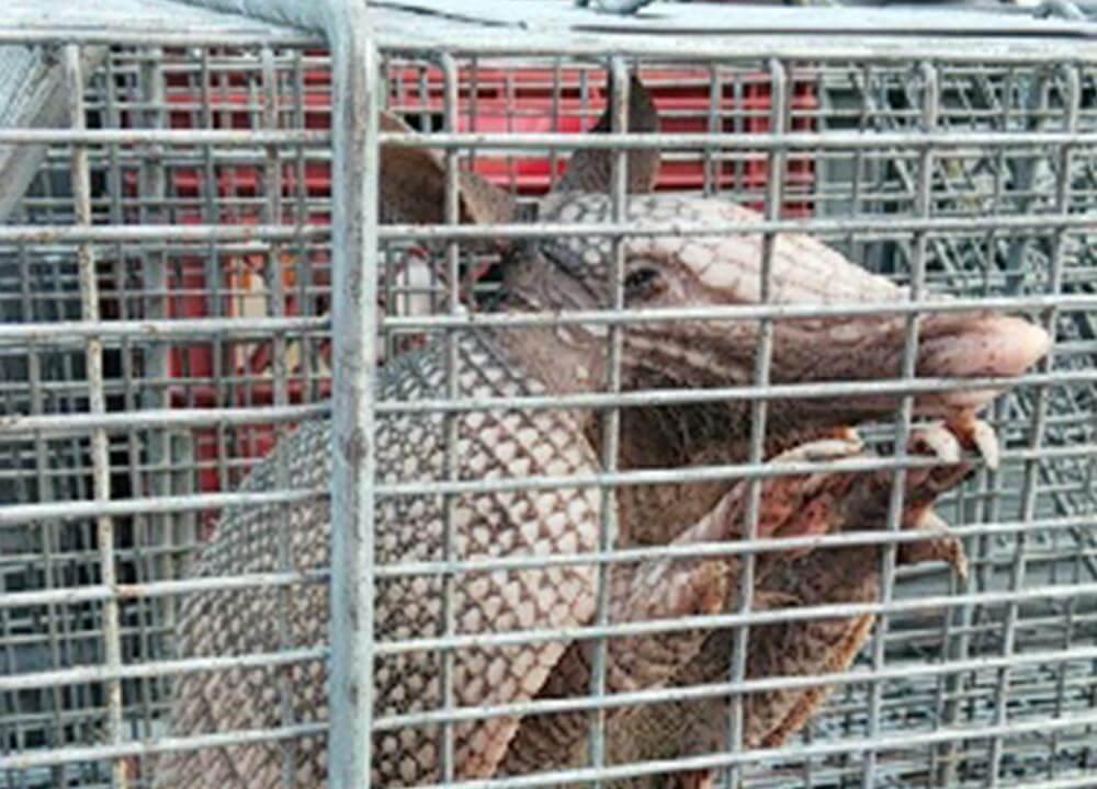 Armadillo in a cage near Houston