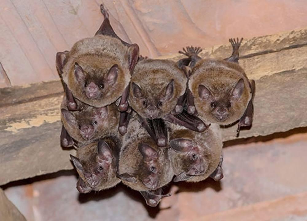 bats in an attic