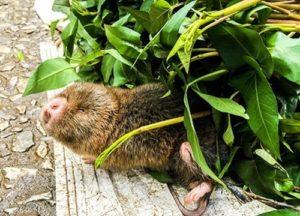 Mole in the garden