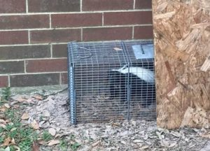Skunk caught in a trap beside a house in Houston
