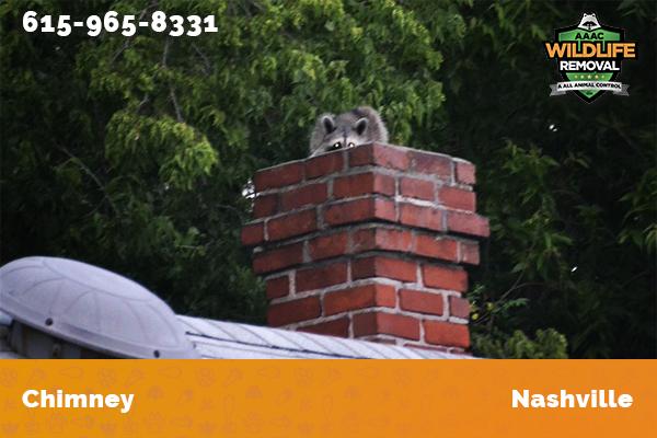 Raccoon on a chimney in Nashville