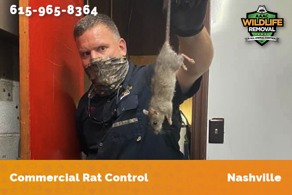 Rodent Pest Control holding a dead rat trapped in a commercial building in Nashville