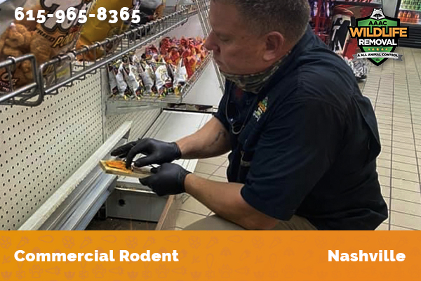 Rodent Pest Control operator setting rodent traps in a commercial building in Nashville
