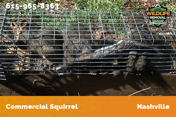 Several squirrels caught by commercial squirrel trapper in Nashville