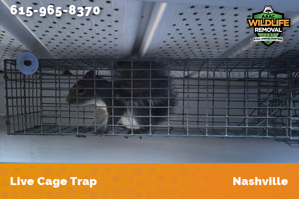 squirrel excluded stuck in a live cage trap in Nashville
