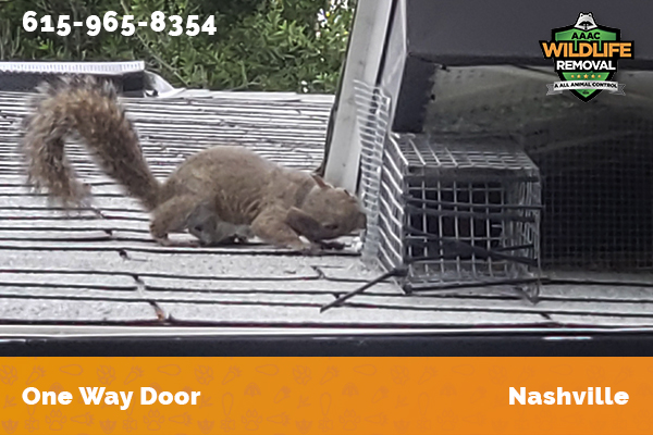 squirrel excluded from an attic by a one way door in Nashville