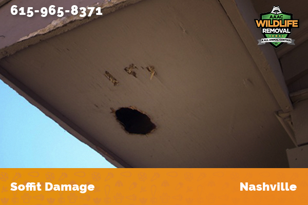 Damage to a soffit caused by a raccoon in Nashville