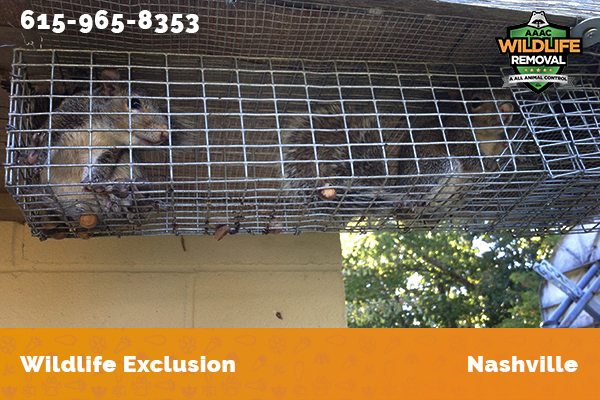 squirrel excluded from an attic in Nashville