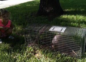 armadillo caught in a trap in Austin home