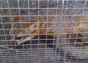fox caught in a trap in Austin area
