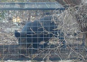 wild hog caught in a trap in Austin